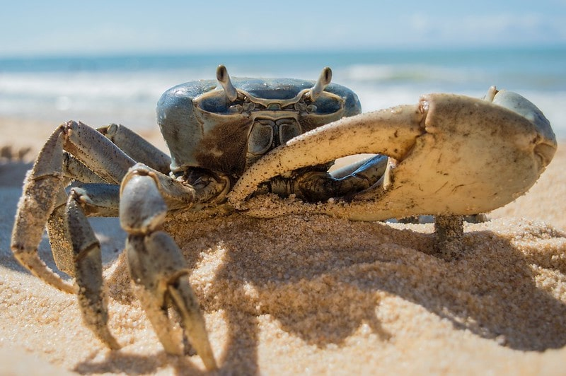 Large blue crab in the sand on the beach with the sea visible behind.