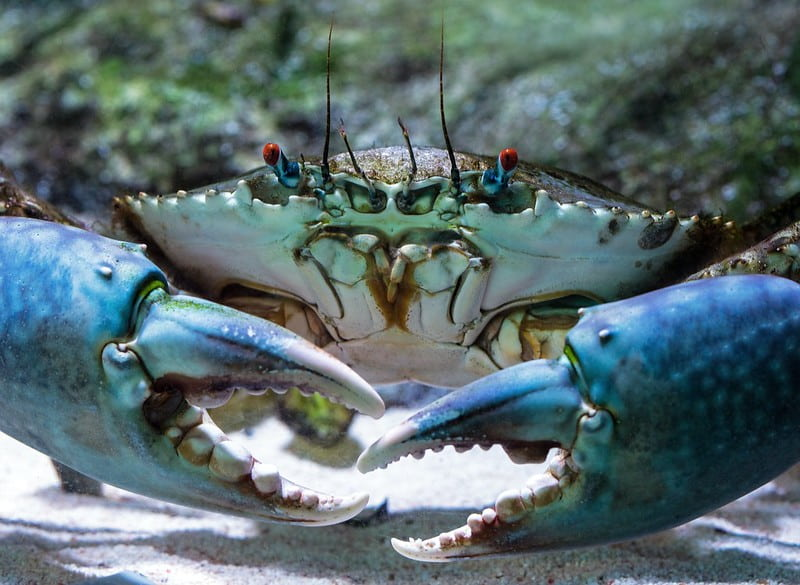 A big blue crab with red eyes standing in the sand on the seabed.