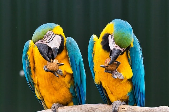 Two yellow and blue parrots perched on a branch cracking a nutshell to get the seeds inside.