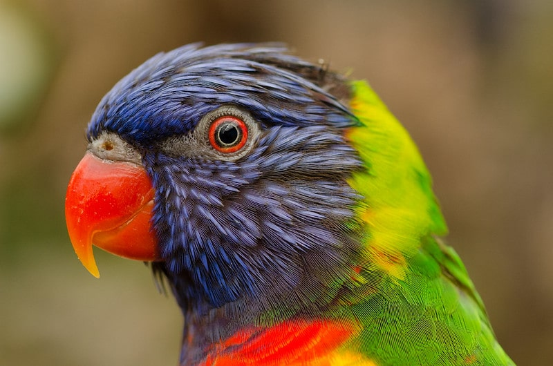 Close up of a colourful parrot with a red beak and eye, purple feathers on its face and green on its back.