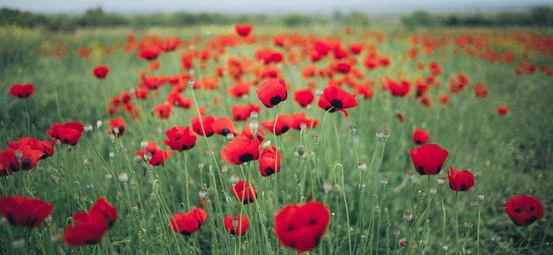A poppy field on a gloomy day, commemoration of WW1.