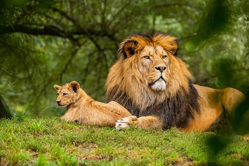 Adult lion and its cub lying in the grass and basking in the sun.