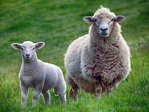 Adult sheep and lamb standing in the grassy field.
