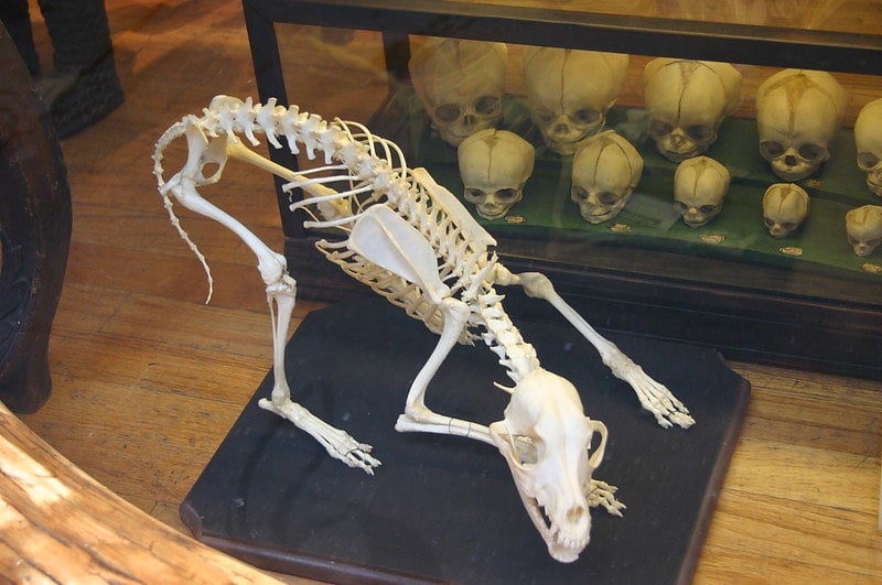 Skeleton of an animal on all fours bending down.