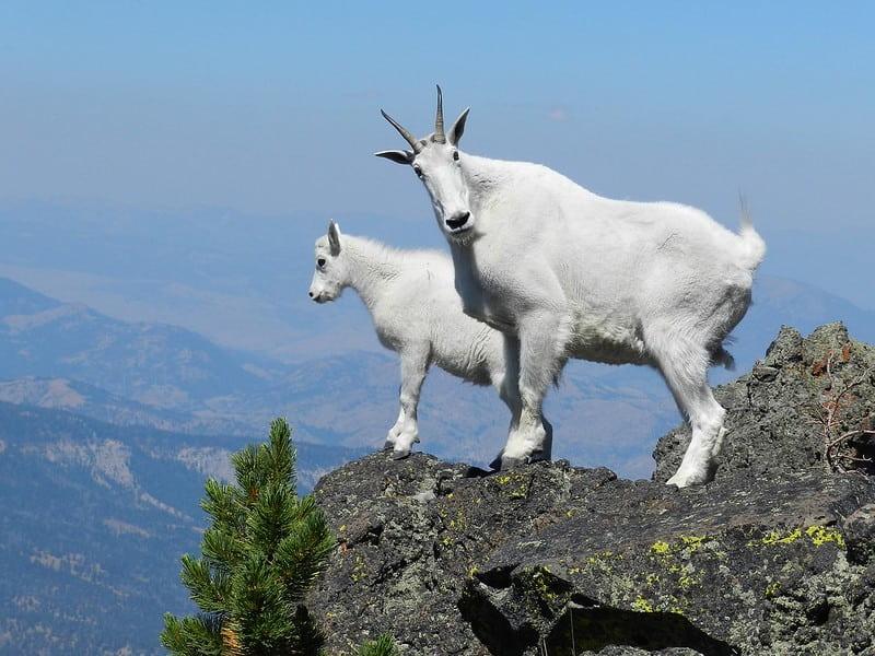 Two white mountain goats standing on the mountain edge.