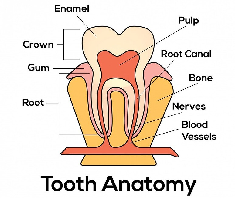 Annotated cross-section diagram of the anatomy of a tooth.
