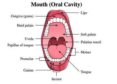 Annotated diagram of the mouth (oral cavity).