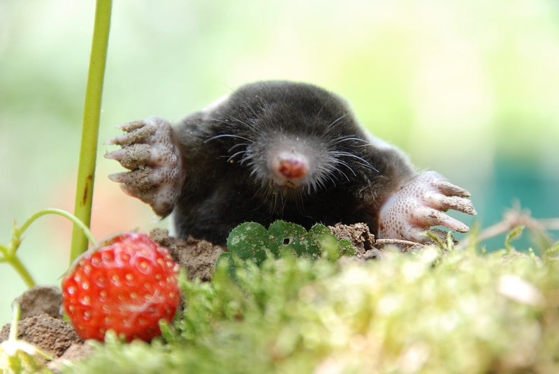 A mole out in the wild next to a strawberry which is lying on the grass.