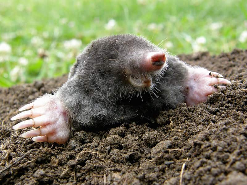 Mole popping out a hole in the ground laughing.