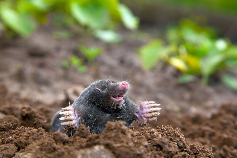 A mole in the soil in the ground laughing.