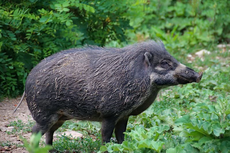 Wild boar in the forest.