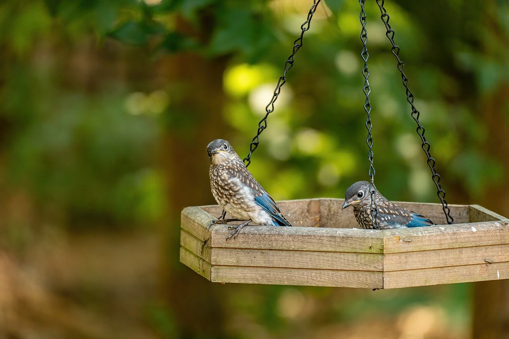 Two brown and blue birds in a hanging perch outside.