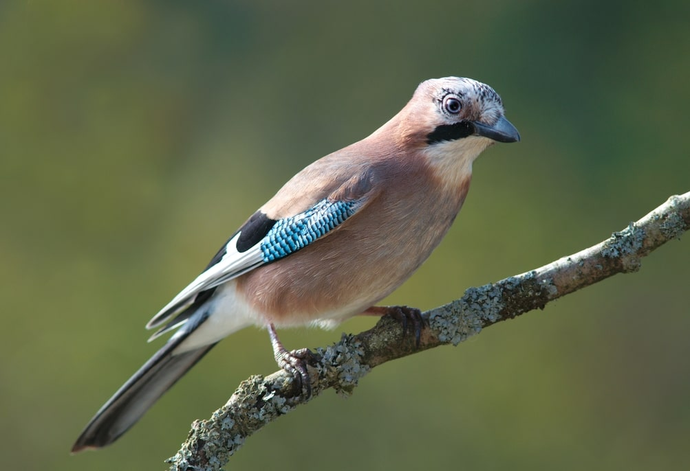 Jay bird perched on a tree branch.