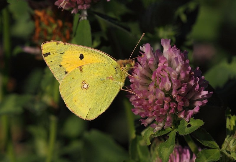 Clouded yellow butterfly on a purple flower.