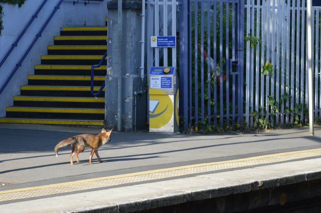 Fox trotting along the platform of a London tube station.