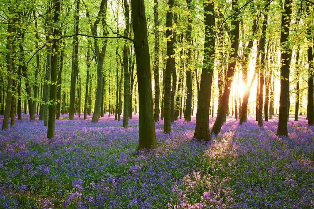Trees in a forest, the sunlight shining through, purple flowers on the ground.
