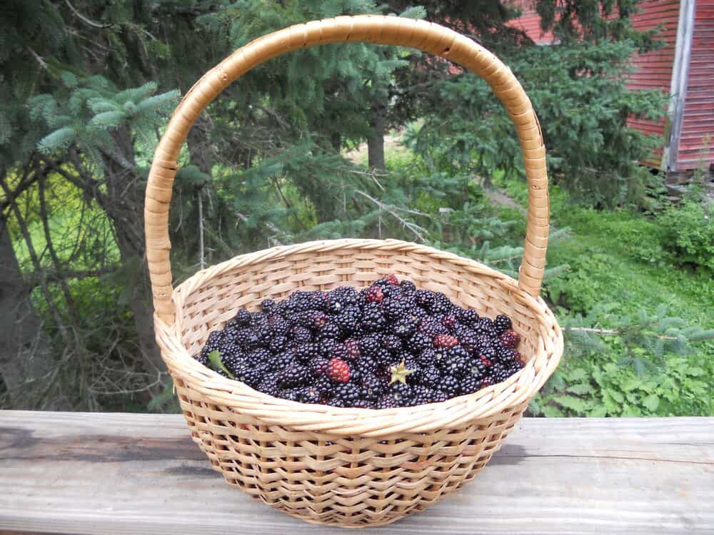 Woven basket filled with wild blackberries placed on a wooden wall outside.