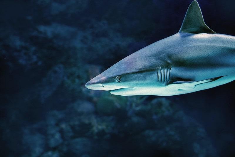 Greyish blue shark swimming in the tank at the aquarium.