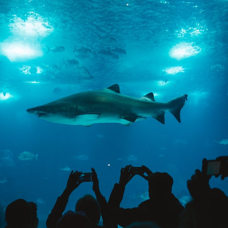 Large shark swimming in the tank in an aquarium above the onlookers' heads.