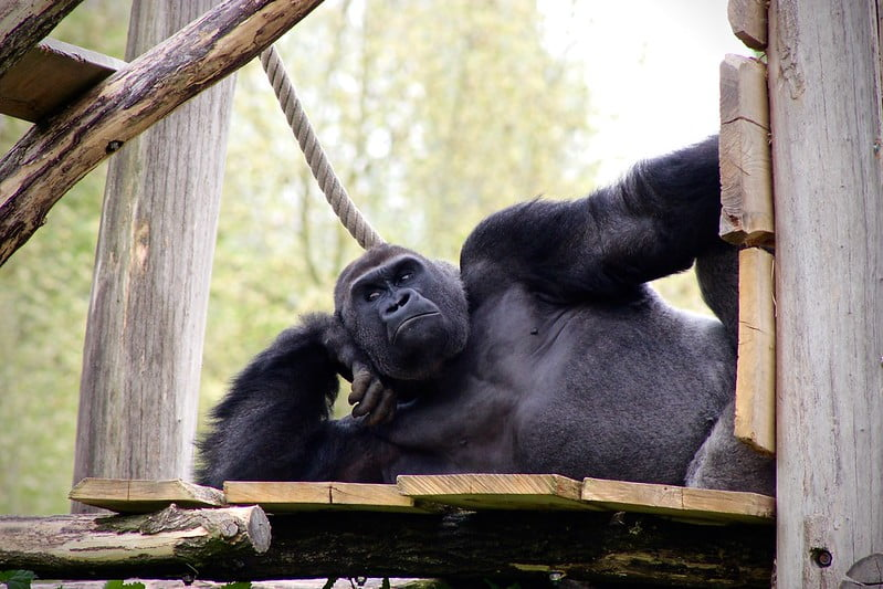 Gorilla lying down on a wooden platform, leaning on its elbow as if posing.