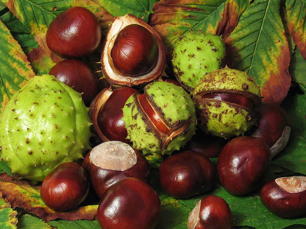 Conkers, some in their shell and some out, on a pile of leaves.