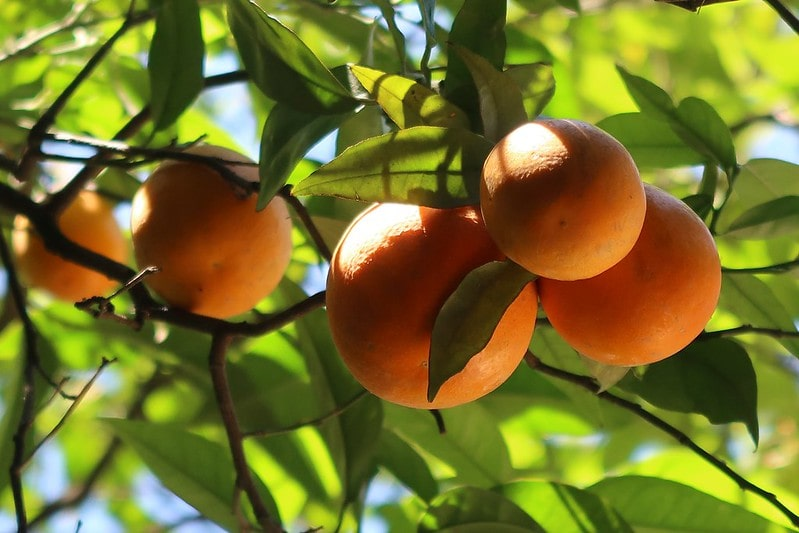 Oranges hanging on the branch of a tree.