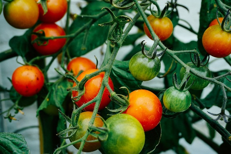 Red and green tomatoes ripening on the vine.