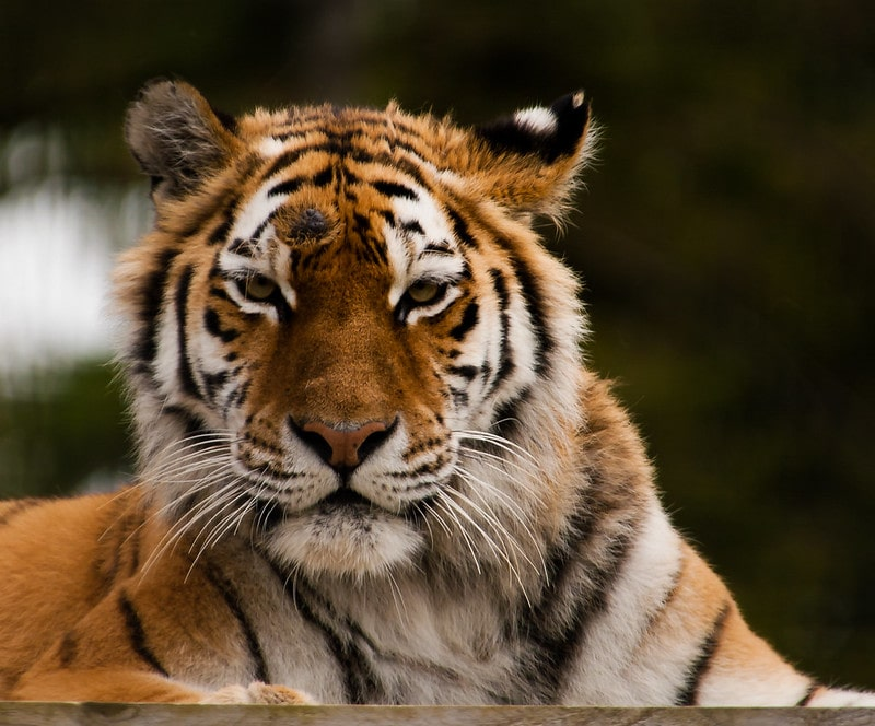 A tiger lying down at Whipsnade Zoo.