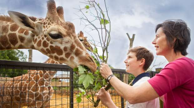 Mother and son feeding giraffes at Whipsnade Zoo.