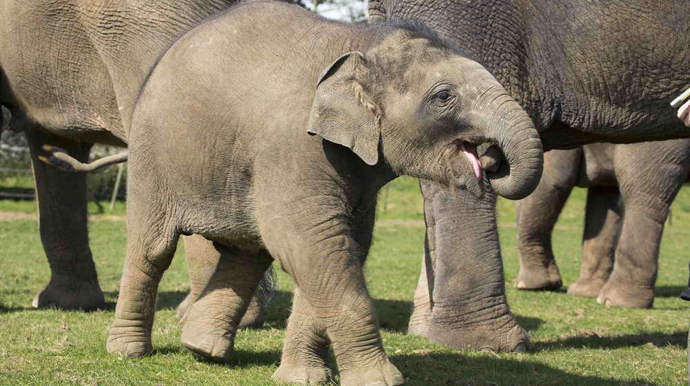 Baby elephant amongst its herd at the zoo.