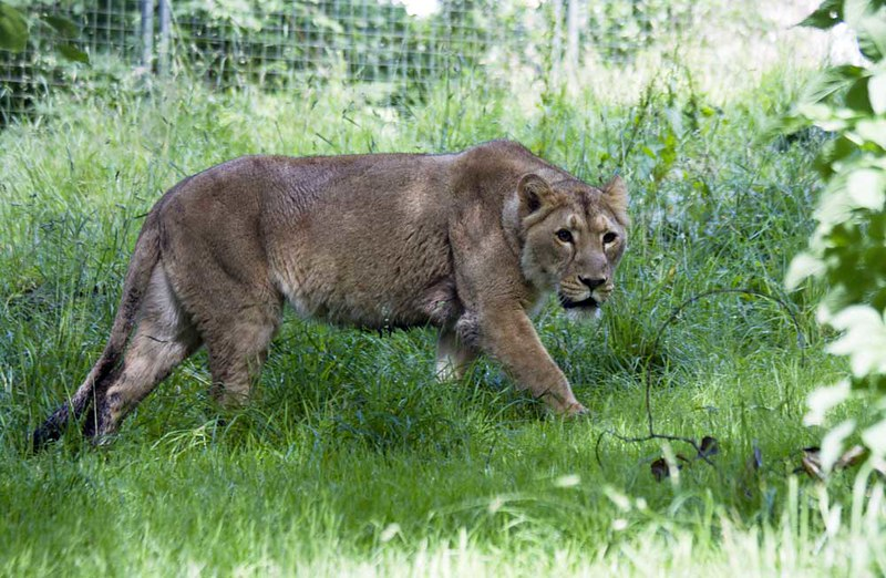 Lion in grass at Edinburgh Zoo.
