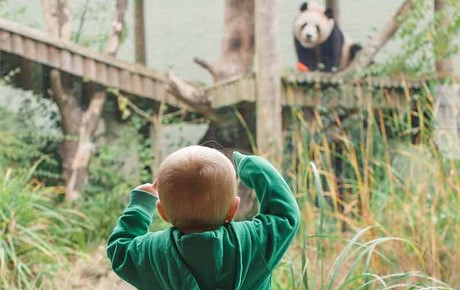 Child looking at panda at Edinburgh Zoo.