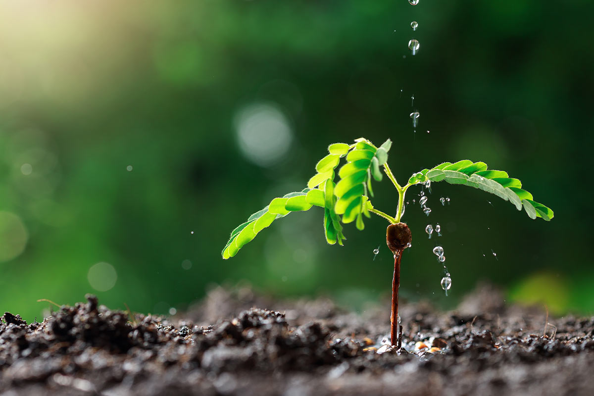 The shoot of a plant growing out of the soil, with droplets of water being poured on it from above.