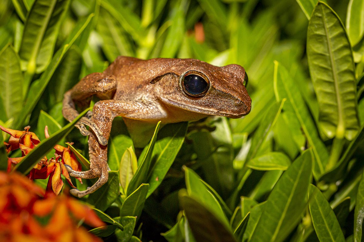Close up of a brown frog crouched in the grass.