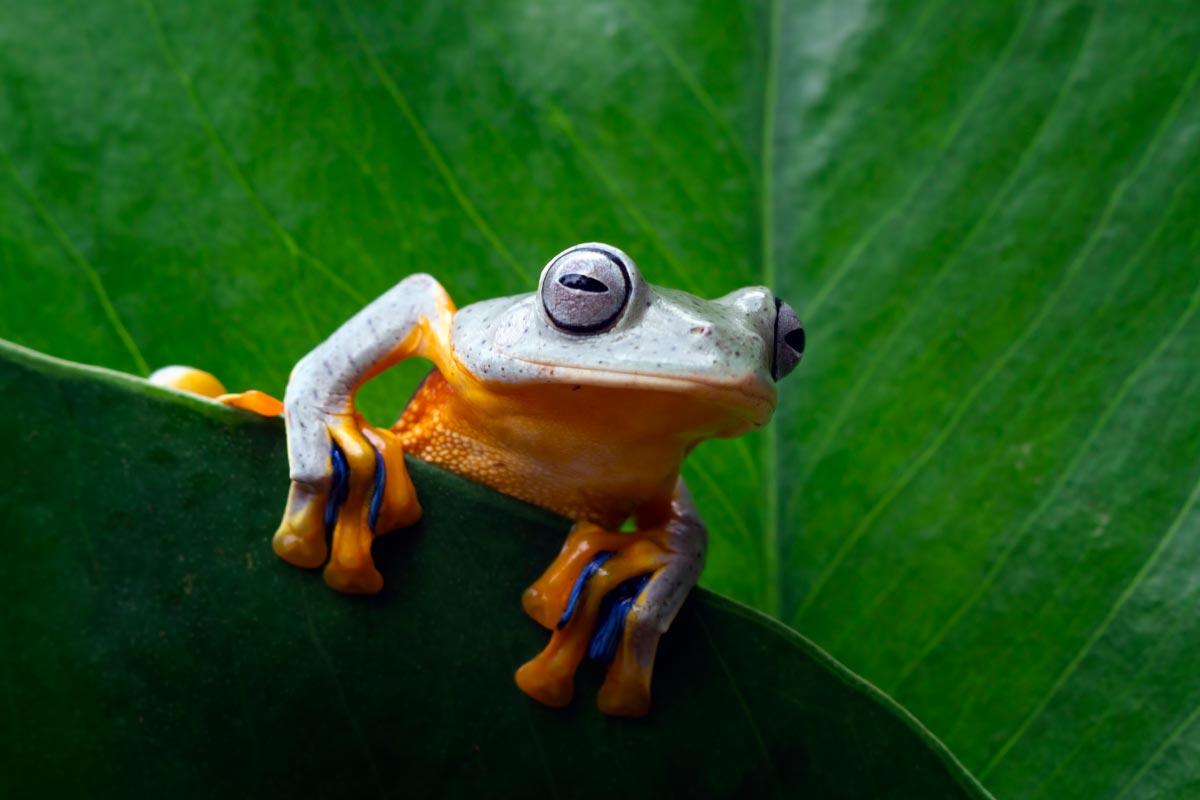 A grey and orange frog sat on a leaf.