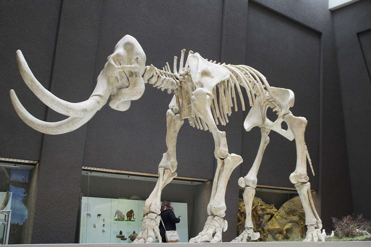 The skeleton of a stone age animal with very long tusks stands in the middle of a room in a museum.