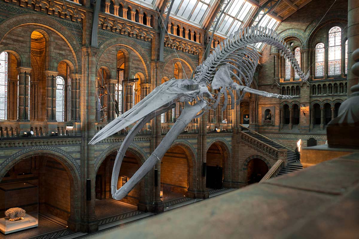 The skeleton of a blue whale stone age animal hanging in the Natural History Museum.