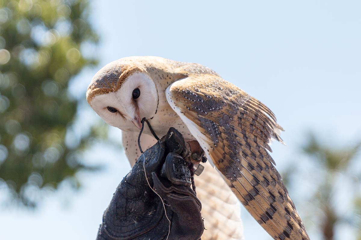 A barn owl sits on top of a gloved hand at a bird of prey centre.