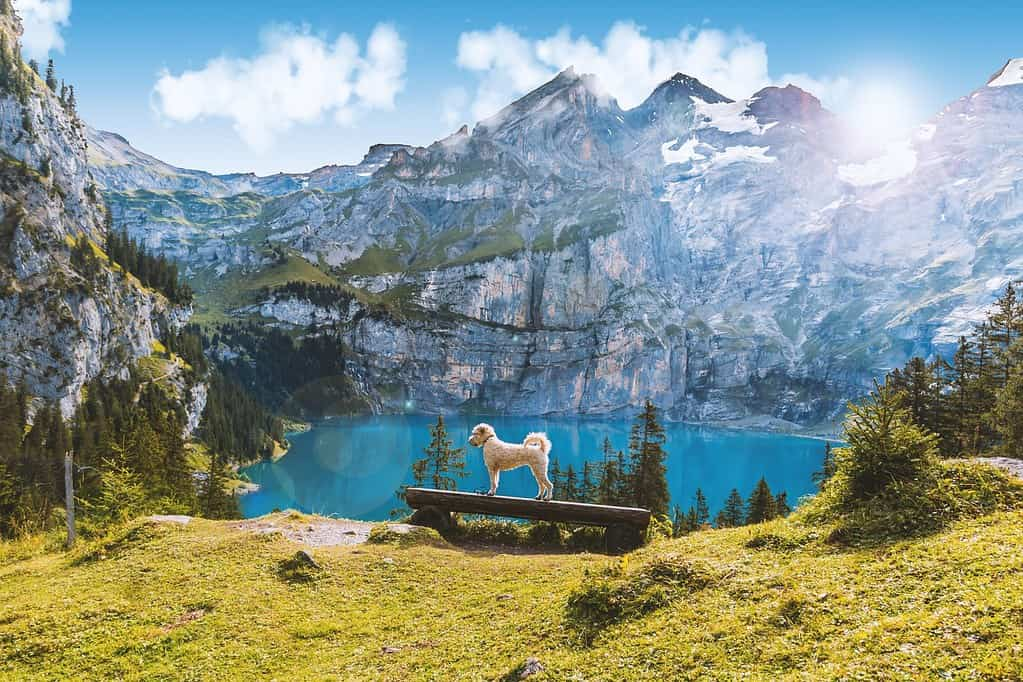A dog standing on a bench overlooking a lake in front of snow-topped mountains in Switzerland.