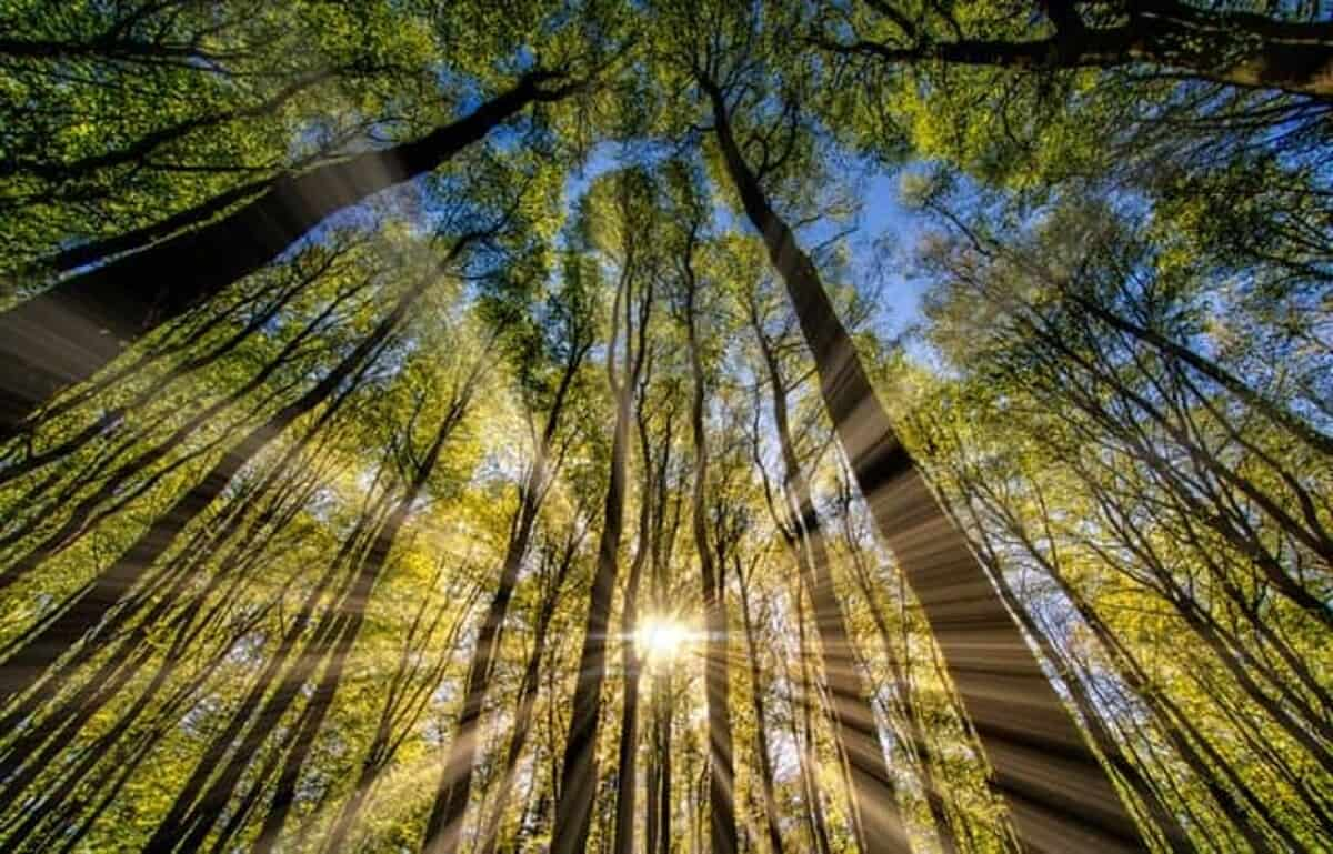 Light rays shining through the trees in a forest.