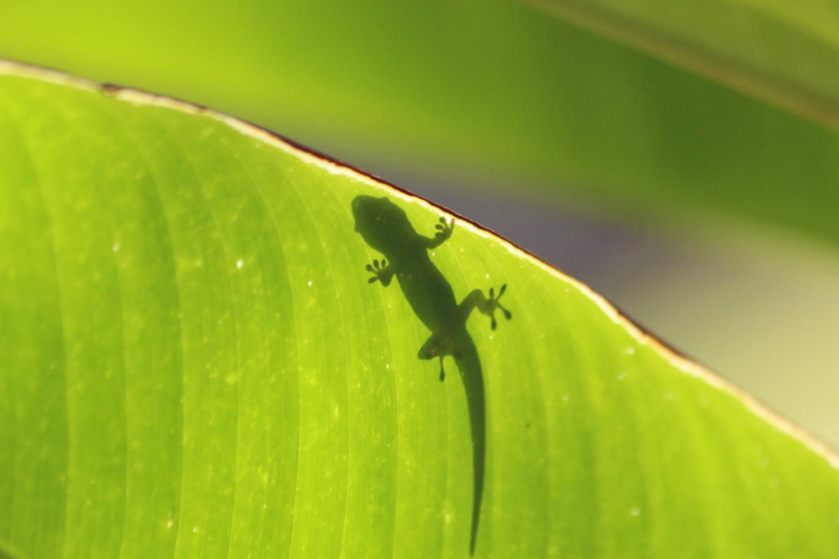 The shadow of a lizard on a bright green leaf in the rainforest.