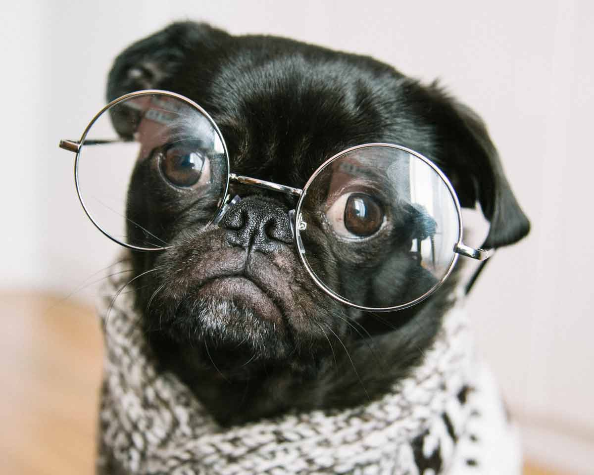 Close up of a pug's face, the pug is wearing glasses and a scarf.