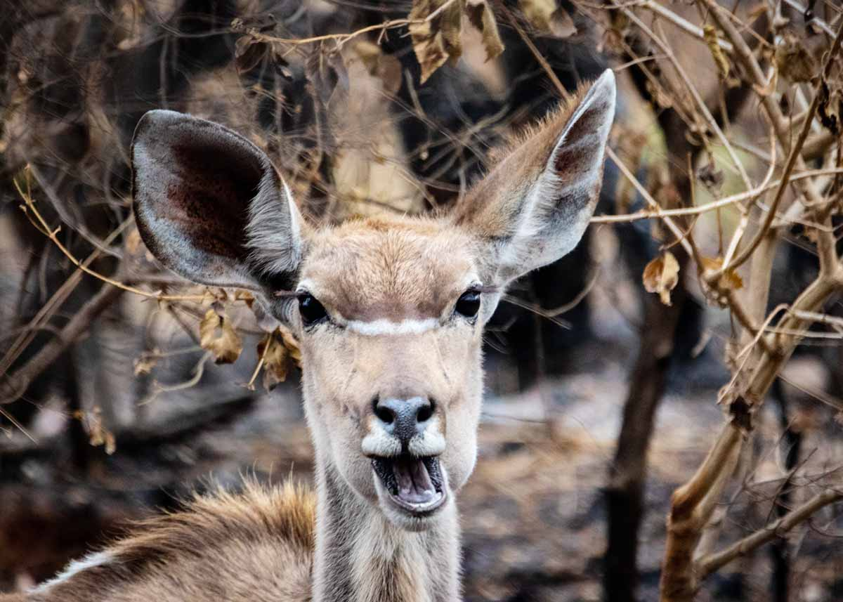Close up of a deer wriggling its mouth and making a funny face.