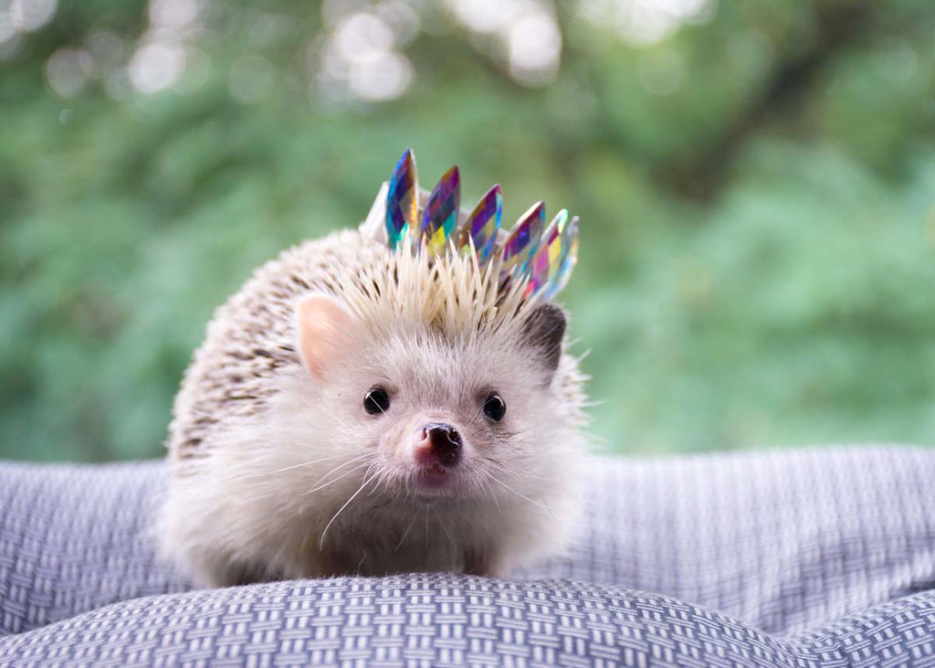A little hedgehog outdoors wearing a tiny crown.
