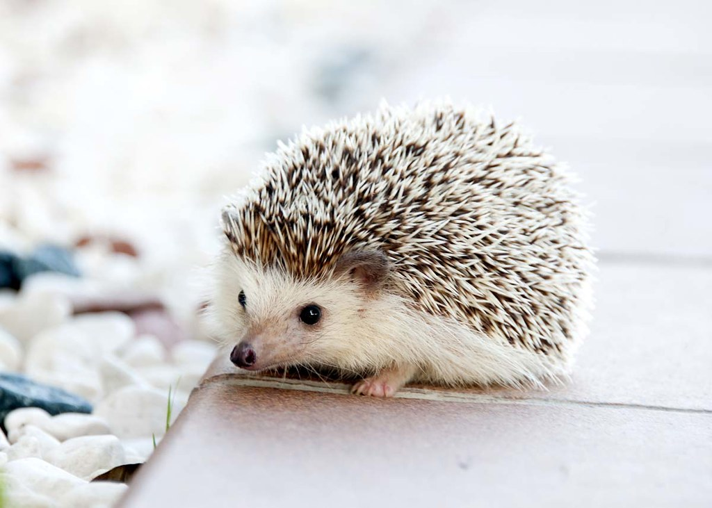 A close up image of a tiny prickly hedgehog.