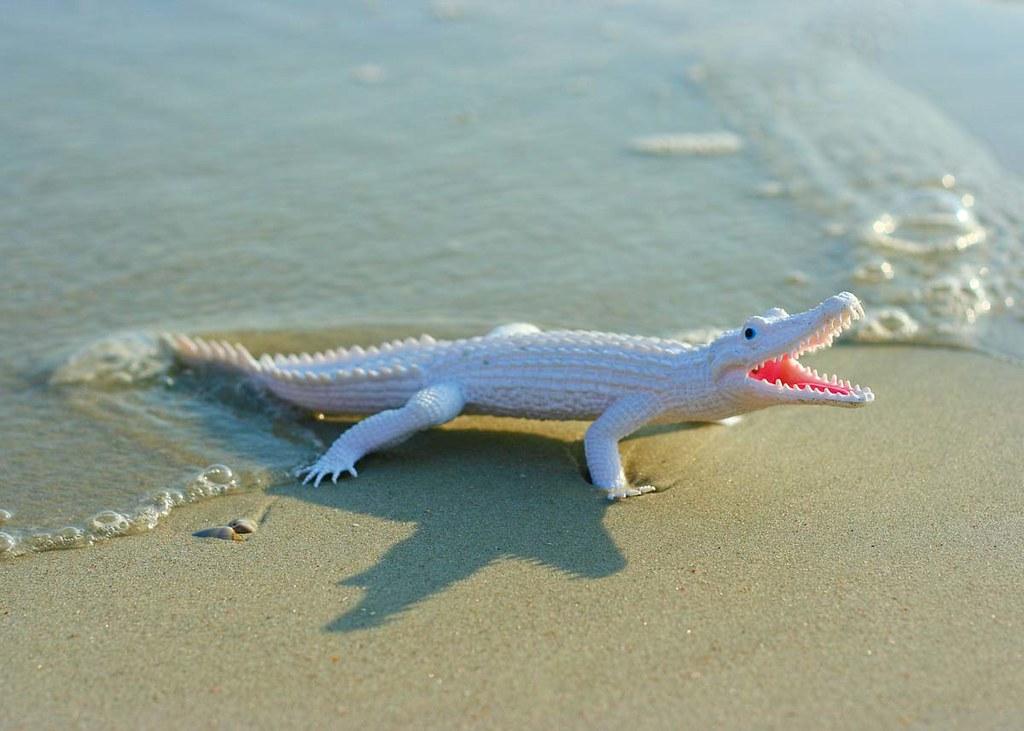 A baby crocodile on the beach.