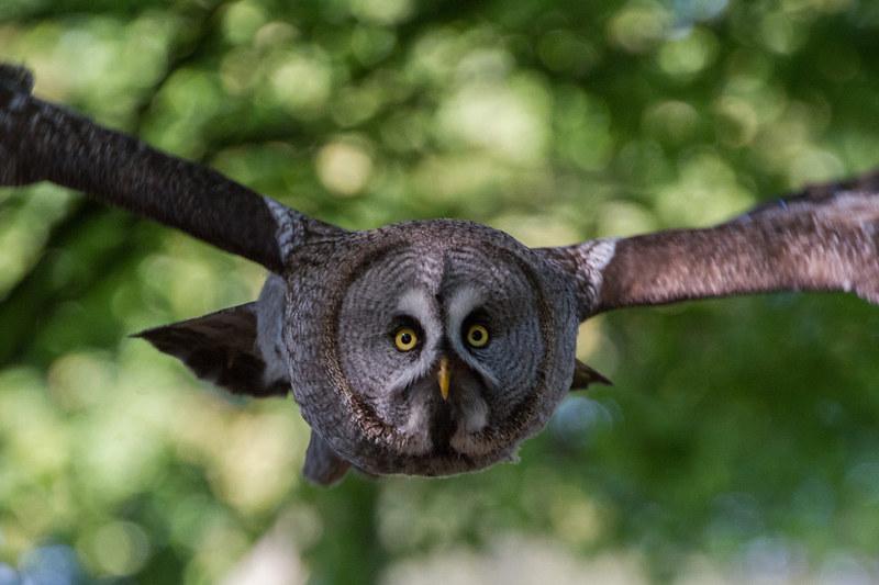 Owl soaring through green foliage at Herrings Green Activity Farm.