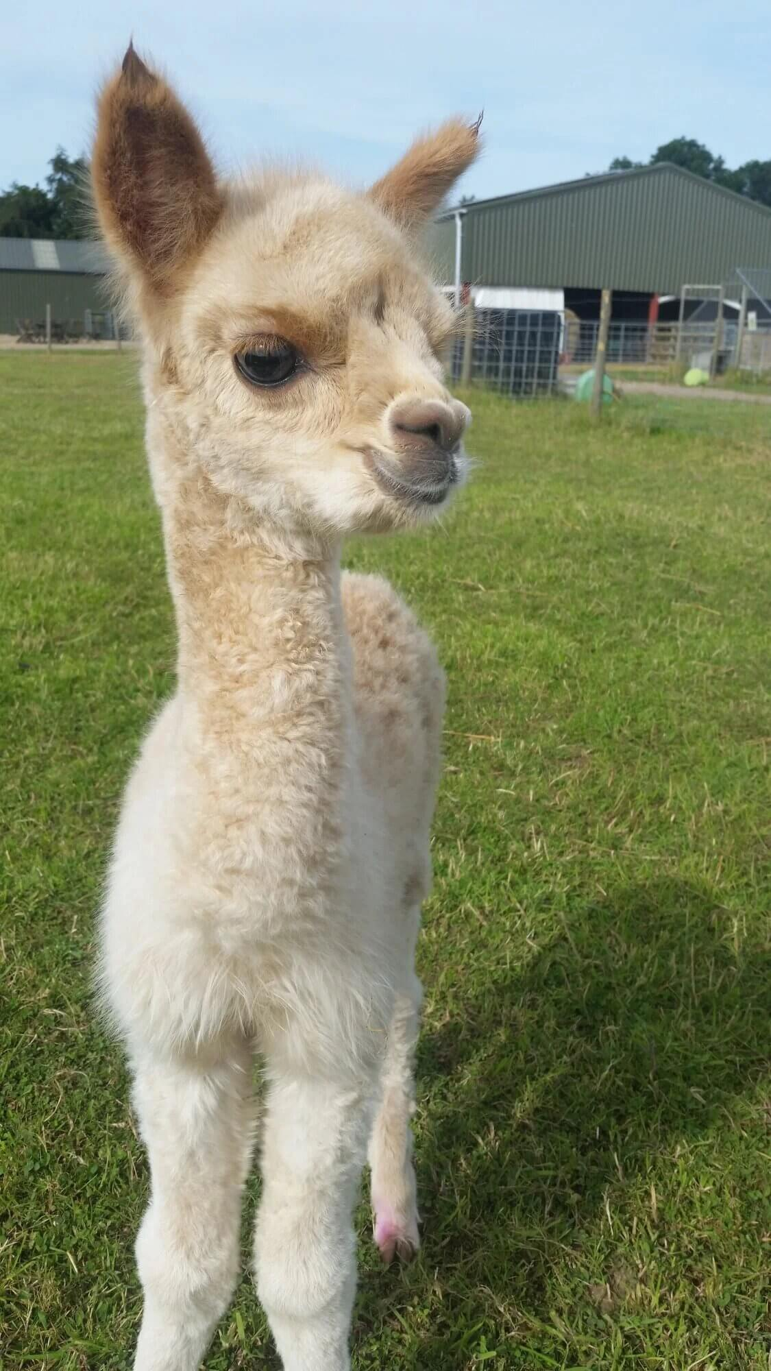White Alpaca in front of a blue sky and green grass.