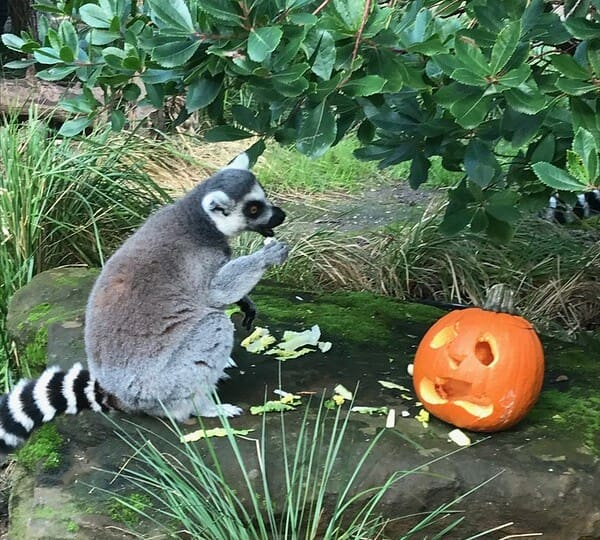 A lemur sat on a stone outdoors next to a pumpkin with a face carved into it.