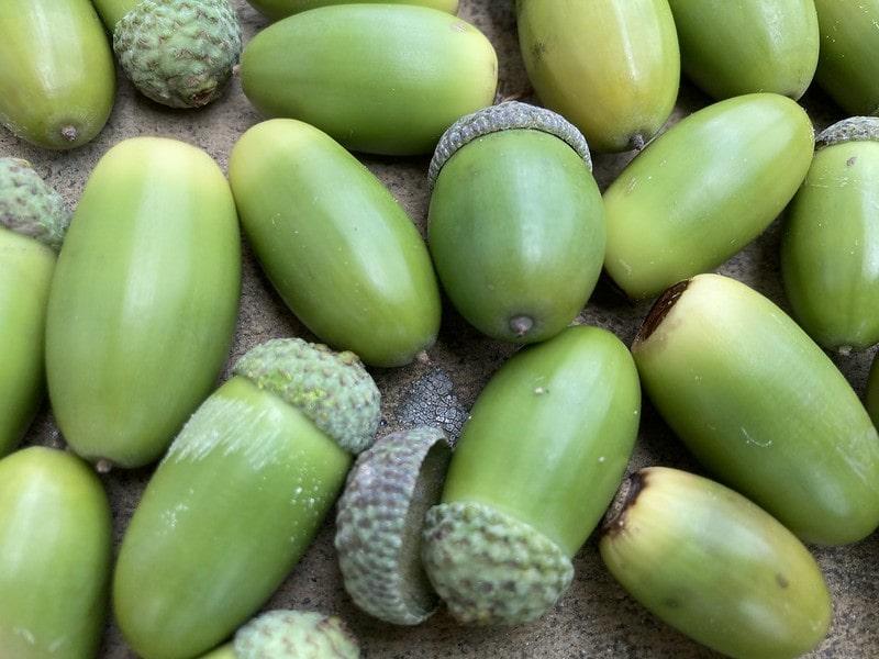 Lots of green acorns.